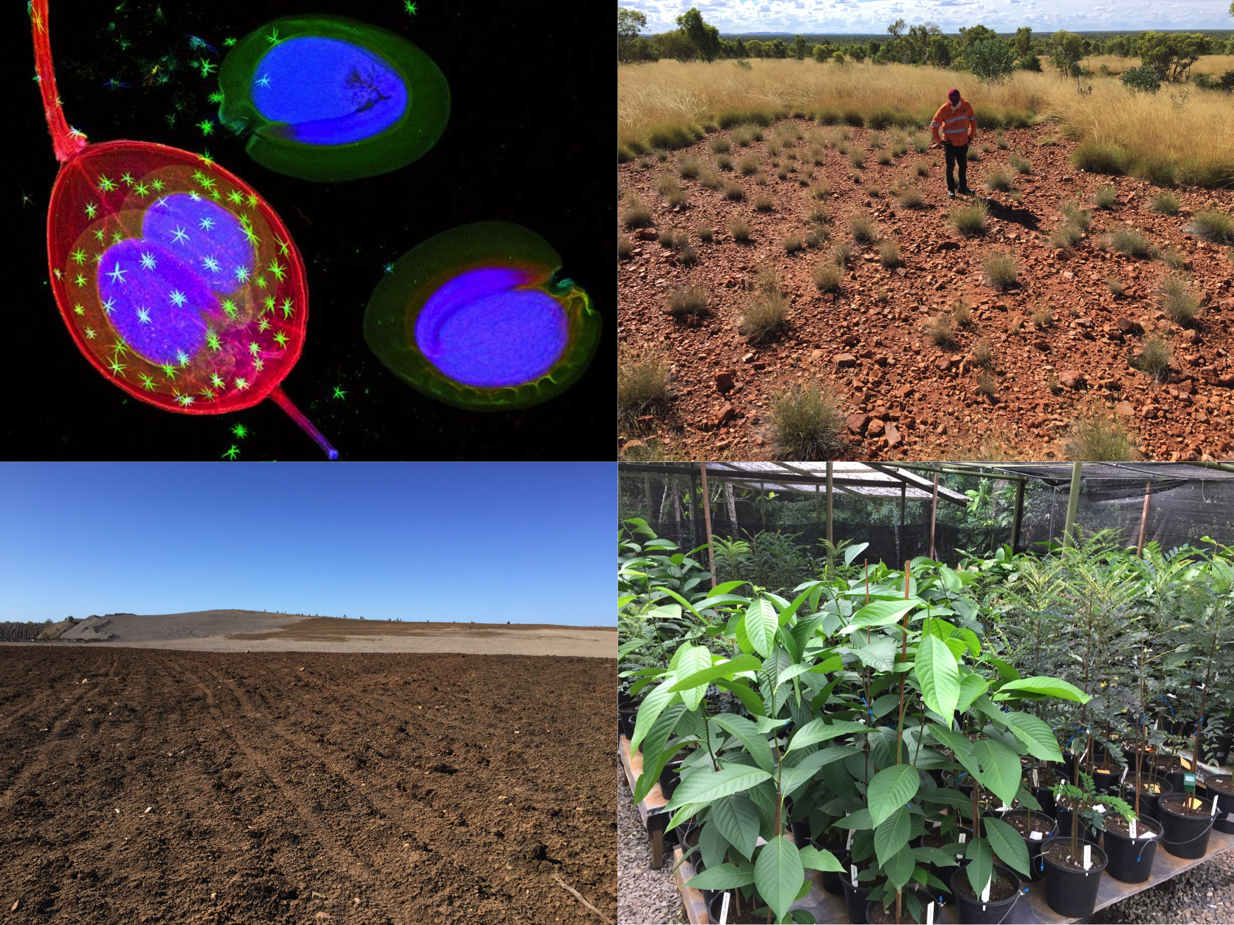 Synchrotron images of nickel hyperaccumulator Alyssum murale seeds; copper metallophyte community in north-western Queensland; rehabilitated landform at an open-cut coal mine; nickel hyperaccumulator growth trial in Sabah, Malaysia